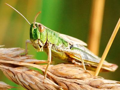 非洲发现蝗虫天敌:能杀350种害虫 对人类无害