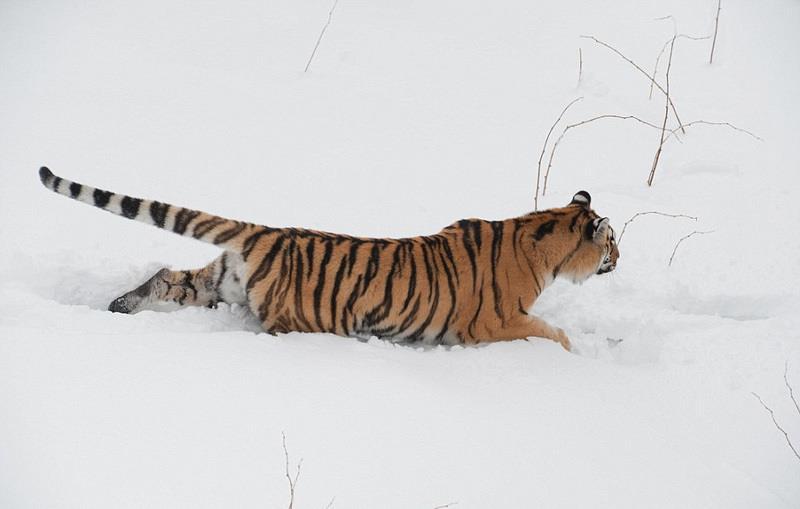 """近日,德国摄影师英戈·格拉克(Ingo Gerlach)在瑞典中部的比约恩野生动物公园内抓拍到一对雄性西伯利亚虎为争伴侣在雪地相斗的照片,画面精彩,令人震撼。 据悉,当夜,山林中的积雪很厚,至少有50厘米深。趁着大好月色,英戈决定去公园里逛一逛,于是便站在通往山林的木桥上亲眼见证了这精彩的一幕: 藏在公园深处的两只西伯利亚虎突然映入眼帘,扑向对方,开始了一场恶斗。它们用后肢站立,伸出锋利的爪子,互相撕扯,直至一方认输。 这场决斗激烈而短暂,但留给人的印象却十分深刻,英戈表示:""""我"""