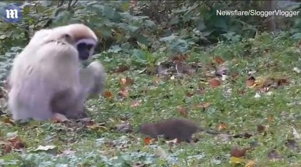 老鼠窜进动物园吓坏长臂猿:下一幕笑到肚子抽筋