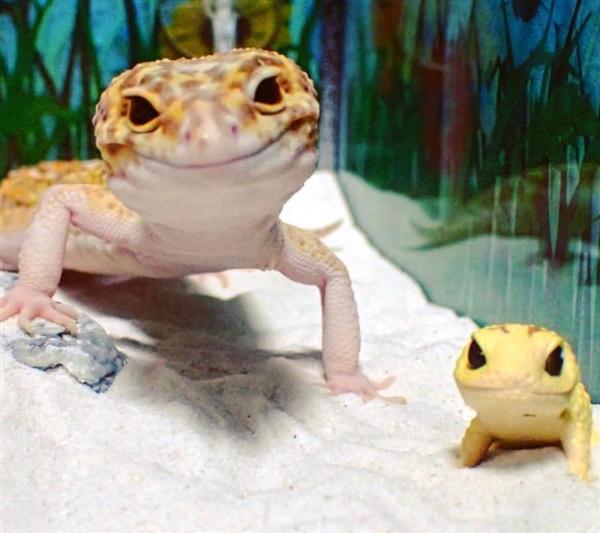 科学动态 生物世界 > 它可能是世界上最可爱的壁虎了