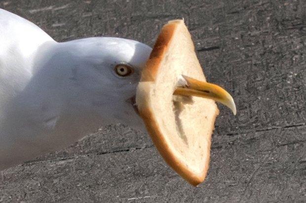 蠢萌!冰岛海鸥吃面包把自己卡住了