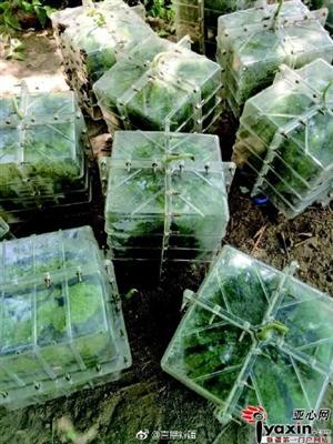 新疆瓜农种出方形西瓜 一个能卖168元