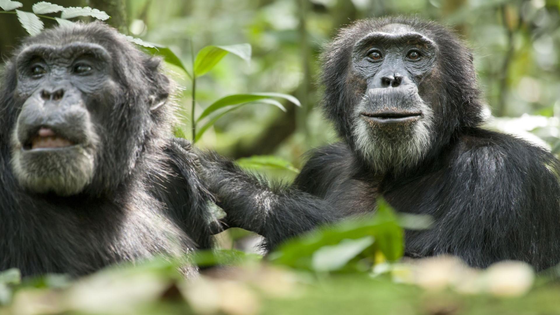 在一项行为实验中,黑猩猩对曾经帮助过它的同伴进行了奖励,这表明人类协作的一些主要动机可能存在于与黑猩猩的共同祖先物种。之前研究显示黑猩猩以不同方式与其它同伴进行合作,但是该行为的动机并不明确。 为了更多地掌握黑猩猩的行为特征,德国马克斯·普朗克研究所的科学家进行了一系列动物行为研究,一只黑猩猩作为实验主体,实验中黑猩猩获取食物的入口被阻挡,它必须在其它黑猩猩的帮助下,或者自己独立完成。 物质回报被认为是人类协作的一个关键部分,这项研究结果表明,在某些情况下,黑猩猩像人类一样,乐意向同伴表达感
