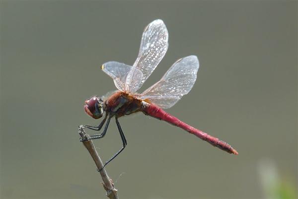 活体蜻蜓等动物基因改造后:瞬间变机器人