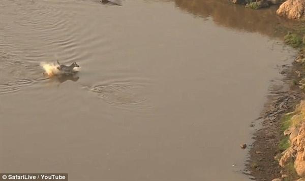 猜到开头没中结尾:斑马战罢鳄鱼上岸竟入狮口