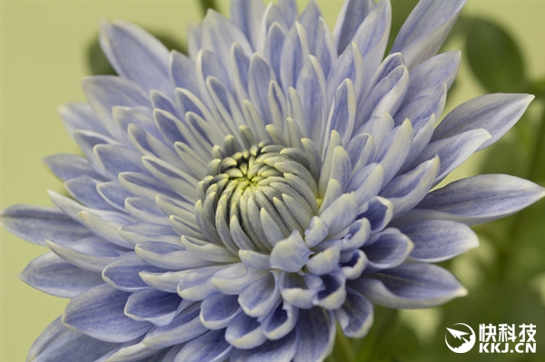 被惊艳到了:全球首株蓝色菊花在日本诞生!