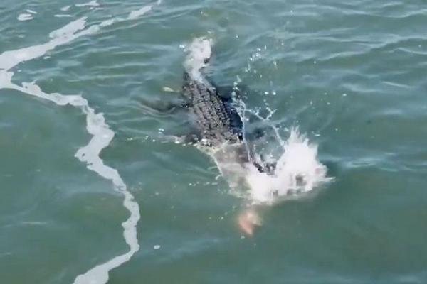 鲨鱼抢食惹怒巨型食人鳄:对头猛咬悲剧了