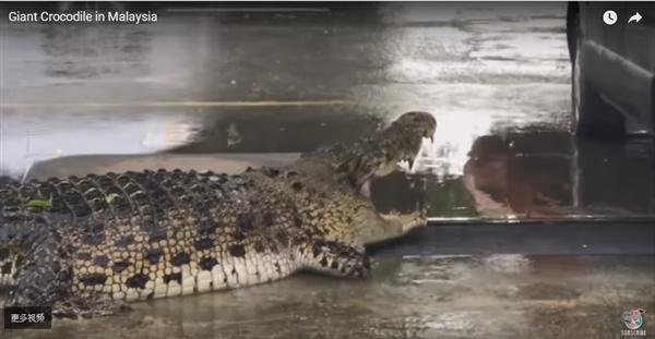 超级巨鳄惊现马来西亚市区:消防员用尽工具没制服
