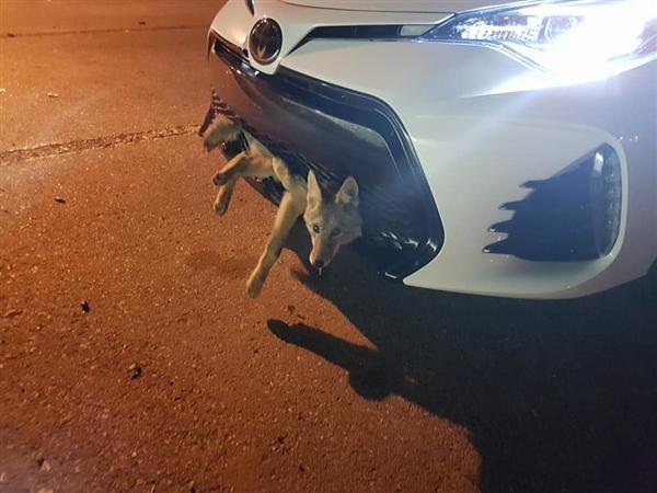 女司机开车撞了一头狼  30公里后下车一看惊呆