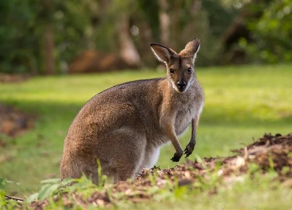 澳大利亚袋鼠泛滥逼人吃 中国吃货们笑了