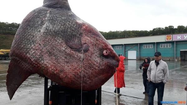 渔民耗时三天捕获一吨重巨鱼:上岸后只能拿去喂熊-鱼,深海,动物...