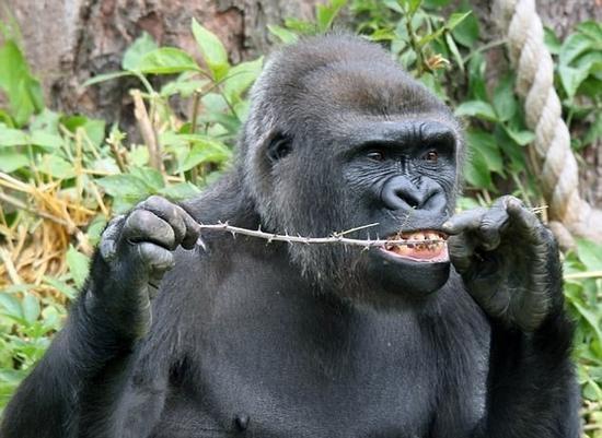 网友笑喷:13岁大猩猩熟练用树枝剔牙 画风欢乐