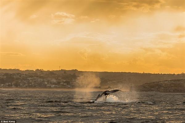 罕见!巨鲸黄昏时跃出水面:夕阳下美如画