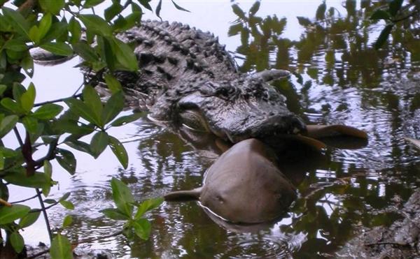 美国鳄鱼不得了:狂吃鲨鱼 画面恐怖