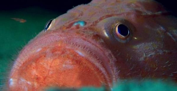 外媒深海拍到怪鱼:进化出脚能自如行走