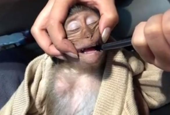 猴子偷喝游客一杯咖啡:中毒昏迷长达10小时