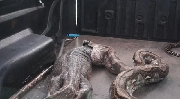 4米巨蟒刚进食后被抓:竟从口中吐出巨蜥