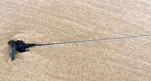 夫妇海滩漫步发现巨型怪异水母:触手超过5米