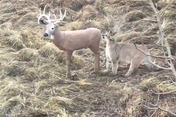 美洲狮小心翼翼攻击猎物 发现是假鹿后一脸懵