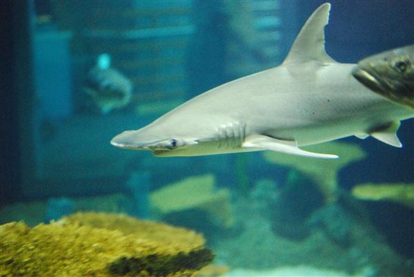 鲨鱼也吃素!科学家发现这种鲨鱼也能吃水草