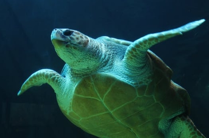 研究发现:大堡礁的温度上升使绿海龟变成雌性