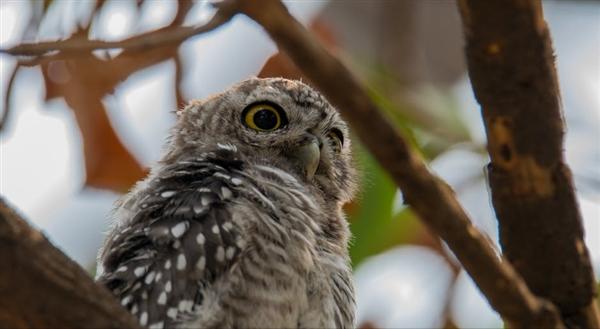 研究发现:种大麻危害猫头鹰生存环境