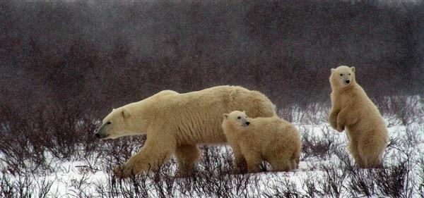全球变暖导致大部分北极熊都在挨饿:太心疼