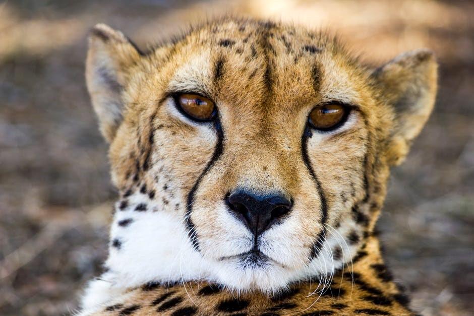 他们发现,活猎豹的内耳形状与现在的其他野生猫科动物明显不同.