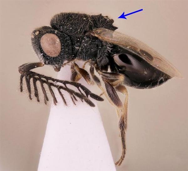 研究表明:寄生蜂可能通过割裂身体来逃脱宿主