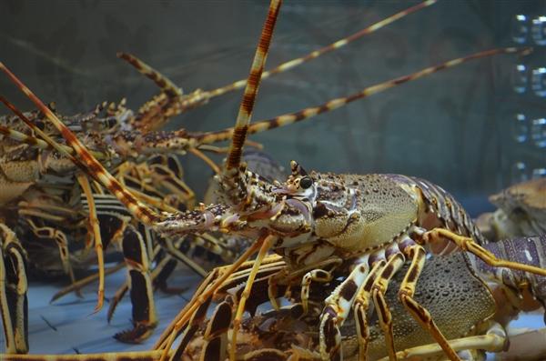 研究发现:大理石纹背小龙虾可以无性繁殖