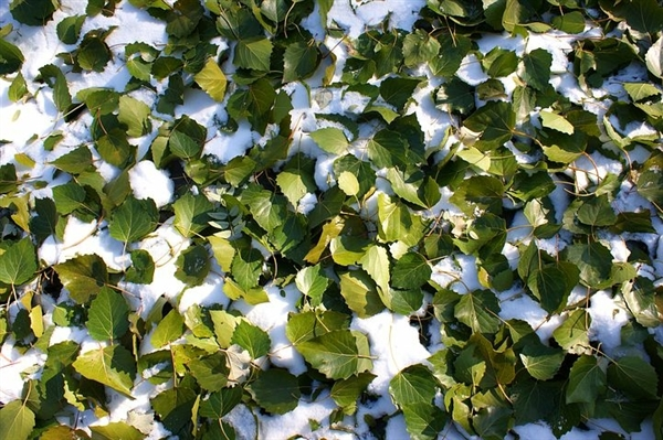 罗马尼亚大学研究报告:半日雪可以安全食用