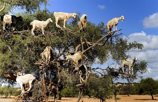 """摩洛哥再现""""羊上树"""":一棵树上14只羊"""