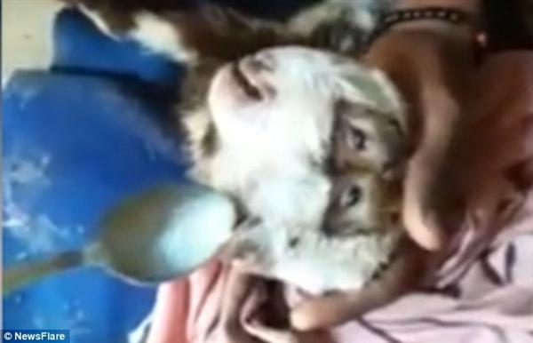 巴基斯坦惊现两头四眼罕见突变山羊
