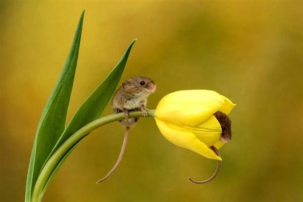 集可爱与破坏力于一身 巢鼠在郁金香花内偷吃画面被拍