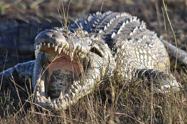 美国德州高速公路出现巨型鳄鱼 导致交通堵塞