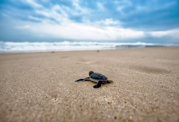 沿海海滩的微型塑料垃圾将危及海龟敏感的孵化环境