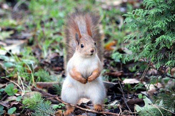 研究发现:英国麻风病很有可能是红松鼠带来的
