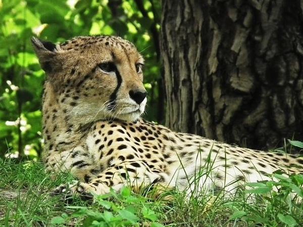 法国游客在野生动物园下车 险遭猎豹袭击