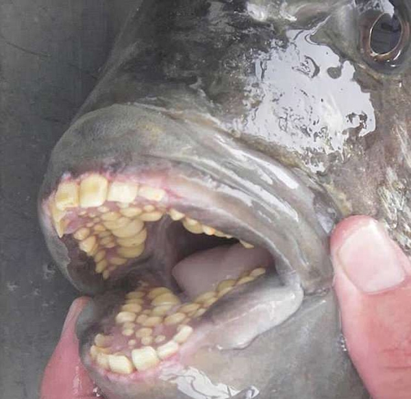 美国自然专家晒怪鱼照:牙齿似人类