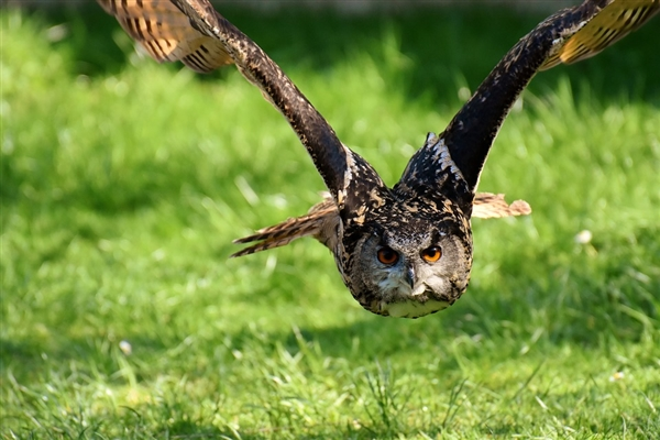 一女士路边救起一只将死的猫头鹰 差点反被害