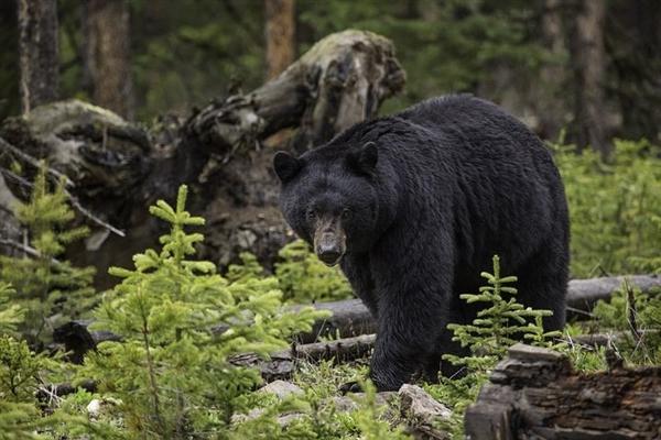 美国科罗拉多黑熊袭击五岁女孩  救治后奇迹生还