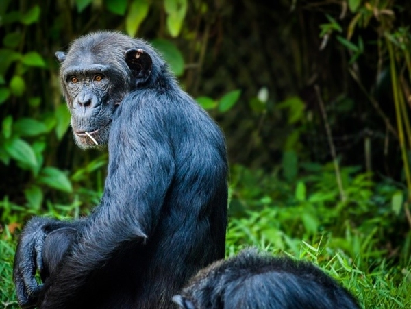 科学家表示 黑猩猩巢比人的床更干净