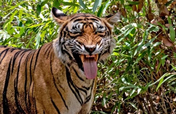 摄影师抓拍老虎吐舌嬉笑一幕 其实是……