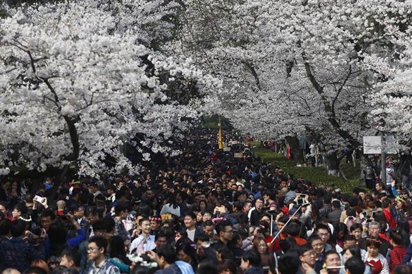 投影仪上怎么看武汉大学樱花盛开?当贝投影轻松教你搞定