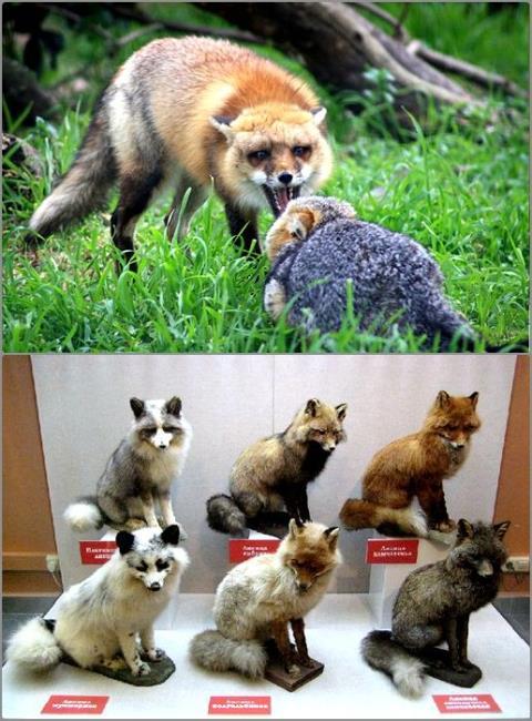 狐仙驾到!狐属动物盘点