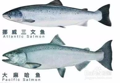 虹鳟也是三文鱼?养殖不如野生?真相在这里
