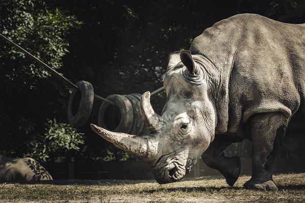 以假乱真!为保护濒临灭绝的犀牛:科学家用马毛制作假犀牛角