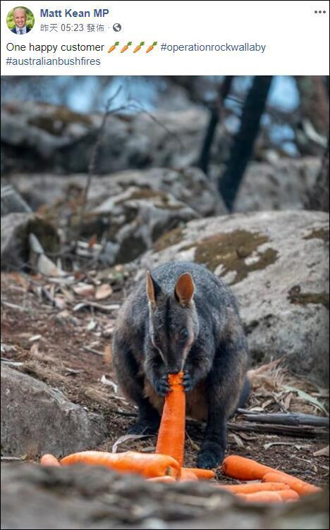 山火燒了4個月 澳大利亞空投2200千克胡蘿卜紅薯:拯救袋鼠