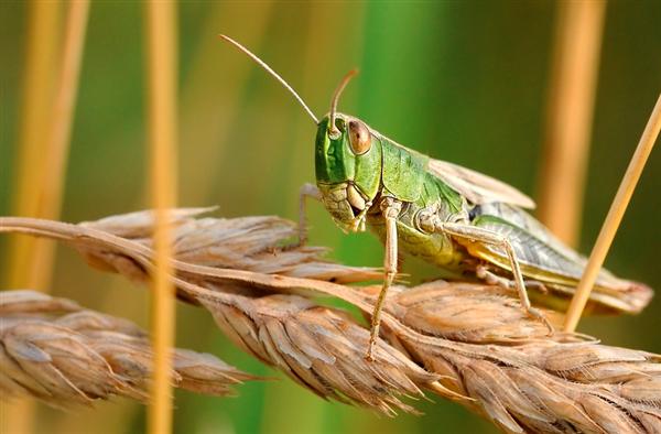 肯尼亚发现蝗灾天然杀虫剂:可对350种害虫 对人类无害