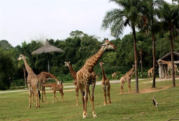 如何分清长颈鹿是雌是雄?教你两招